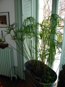Cyperus involucratus overwintering in the south window